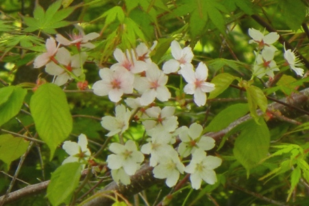 しまいの 桜は _a0236300_18365619.jpg
