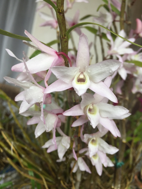 Dendrobium (Den.) moniliforme_d0007501_97234.jpg