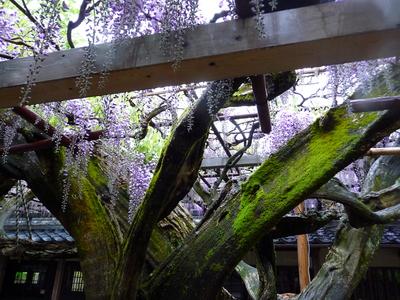 雨の藤棚 _e0135219_1037154.jpg