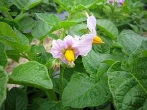 ジャガイモの花咲きました!_d0120421_10320916.jpg