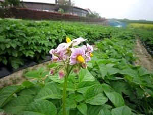 ジャガイモの花咲きました!_d0120421_10320945.jpg