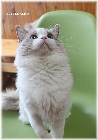☆ラグド-ルの仔猫・・接近。_c0080132_11235251.jpg