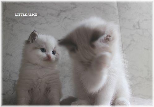 ☆ラグド-ルの仔猫・・接近。_c0080132_1131551.jpg