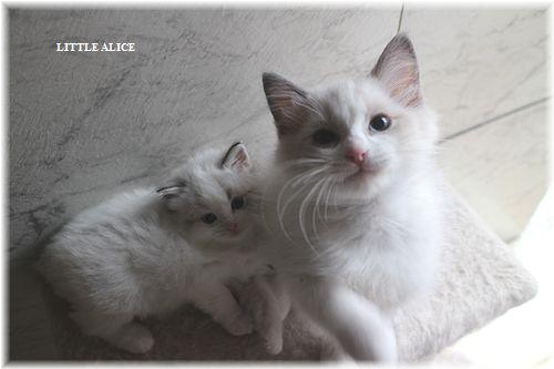 ☆ラグド-ルの仔猫・・接近。_c0080132_11321570.jpg