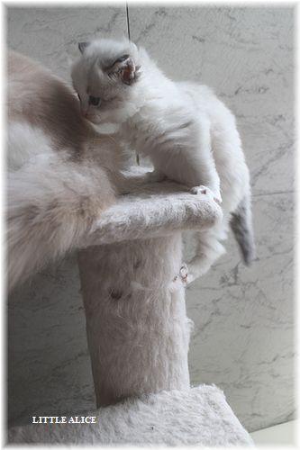 ☆ラグド-ルの仔猫・・接近。_c0080132_11325296.jpg