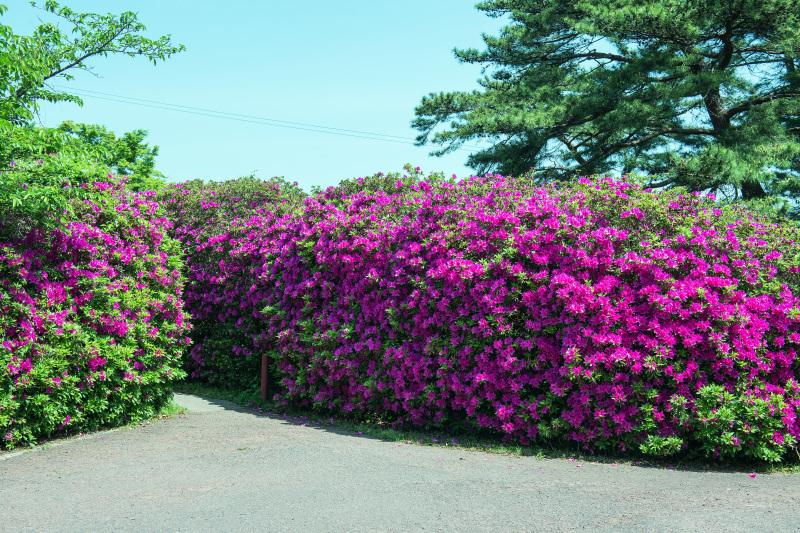 家内が好きだった公園 仏生山公園のツツジ_d0246136_00504729.jpg