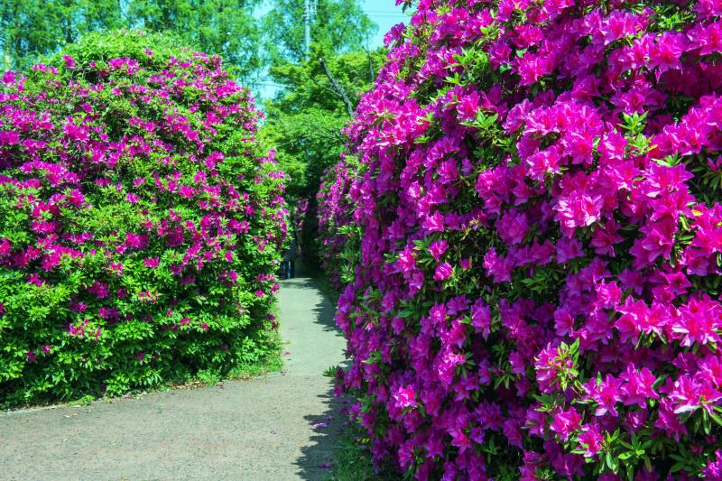家内が好きだった公園 仏生山公園のツツジ_d0246136_00550251.jpg