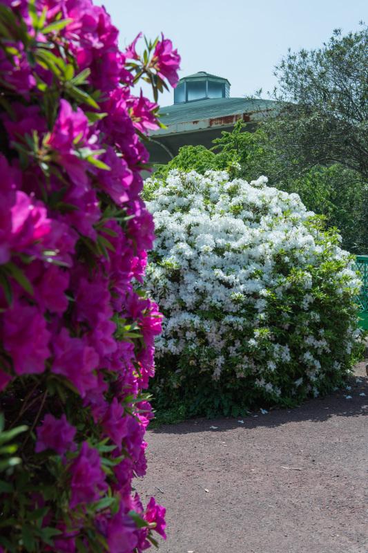 家内が好きだった公園 仏生山公園のツツジ_d0246136_00560439.jpg