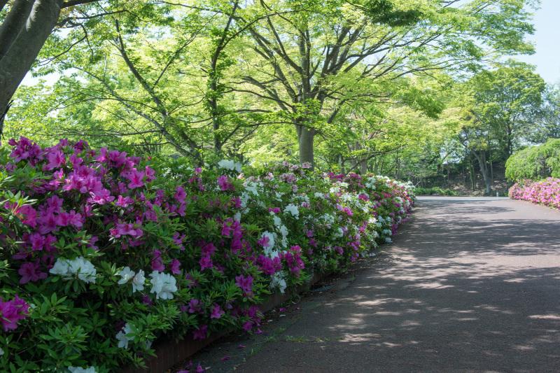 家内が好きだった公園 仏生山公園のツツジ_d0246136_00565810.jpg