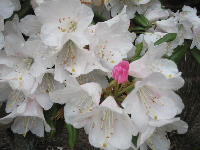 藤が咲き始めました_f0085369_15201892.jpg