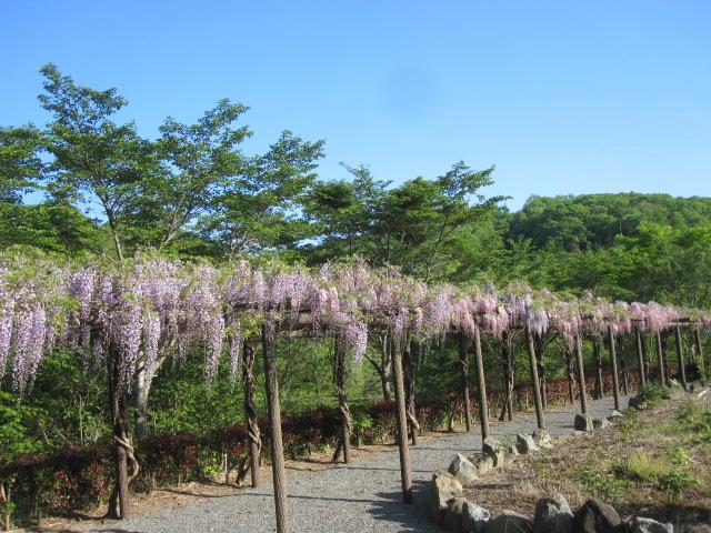 藤が咲き始めました_f0085369_152204.jpg