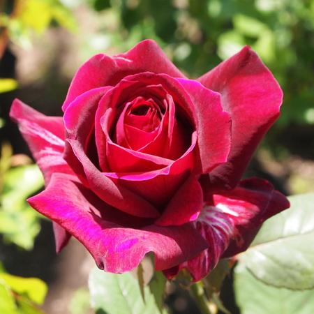 バラ苗の買い方なんですけれども_a0292194_16445877.jpg