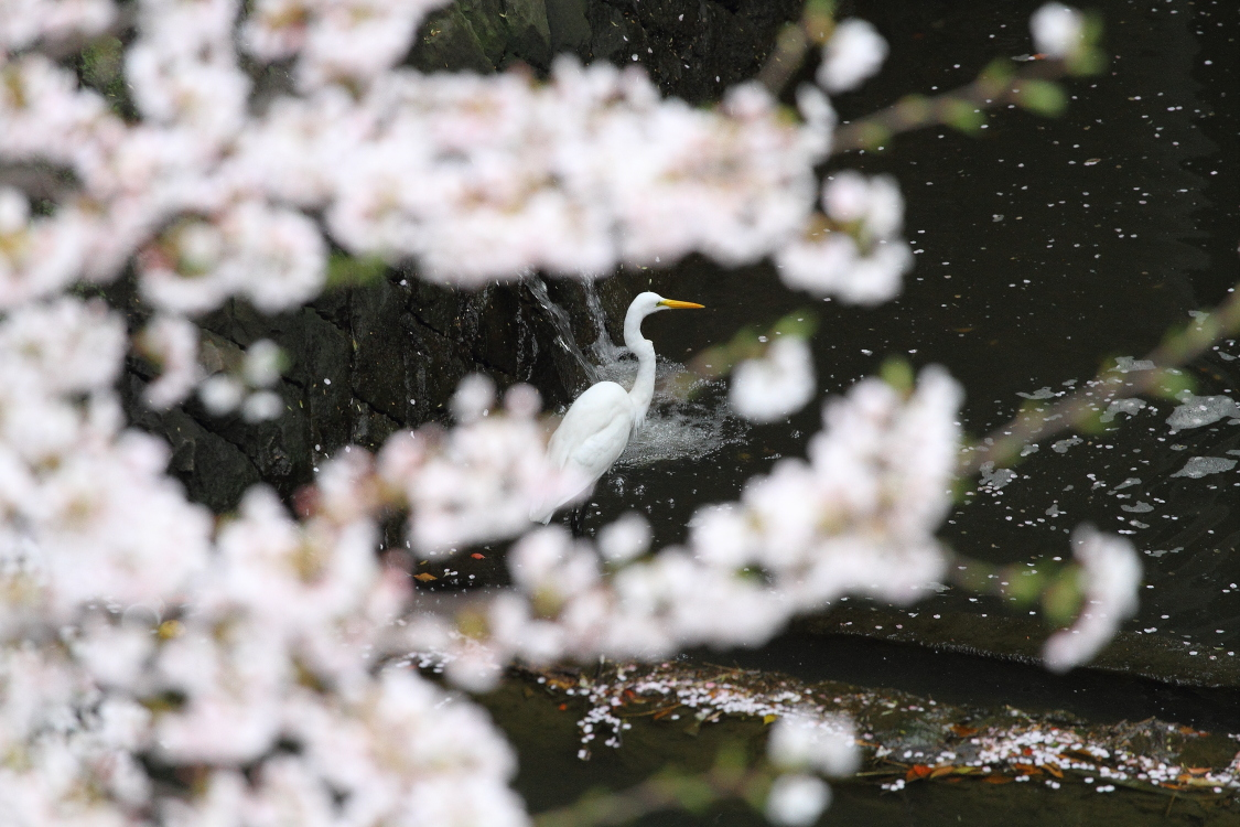 桜と鷺_b0190710_20565146.jpg