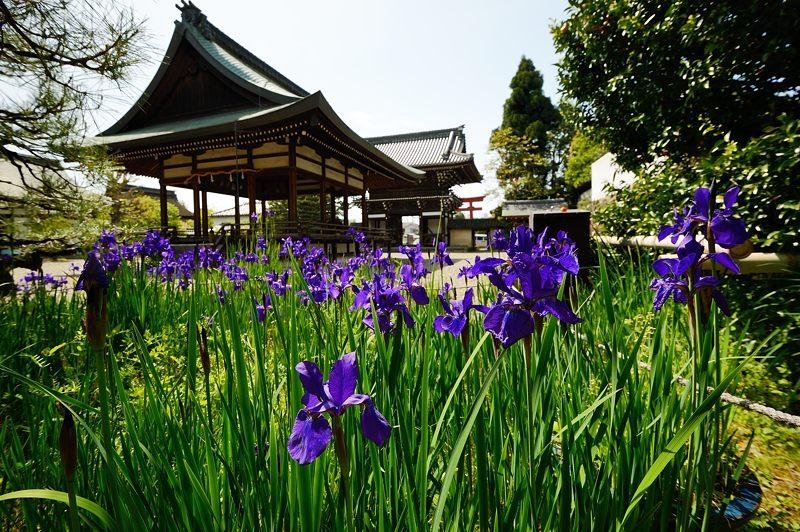 紫の花色々@梅宮大社_f0032011_1836010.jpg