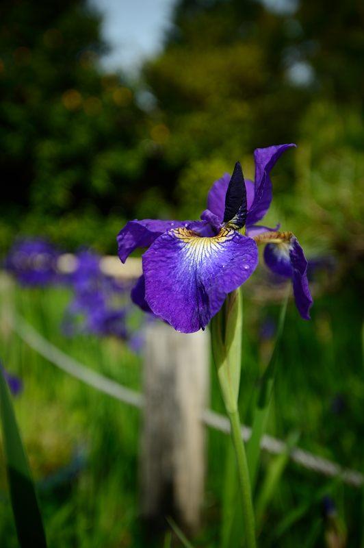 紫の花色々@梅宮大社_f0032011_18363927.jpg