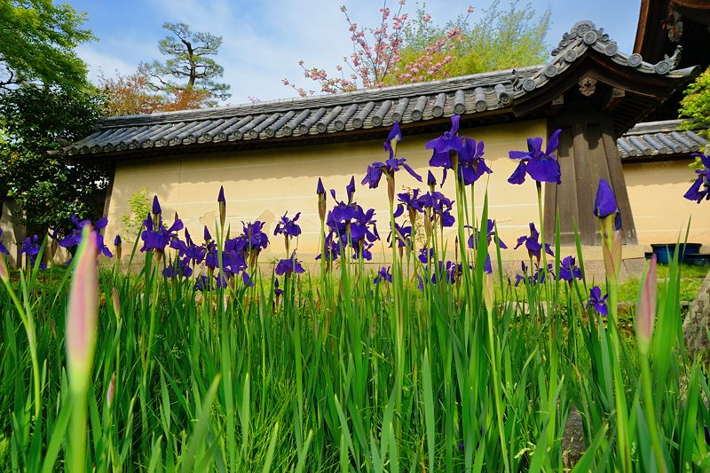 紫の花色々@梅宮大社_f0032011_18411314.jpg