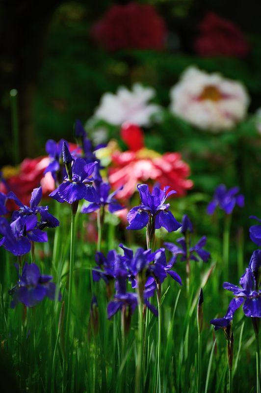 紫の花色々@梅宮大社_f0032011_18413143.jpg