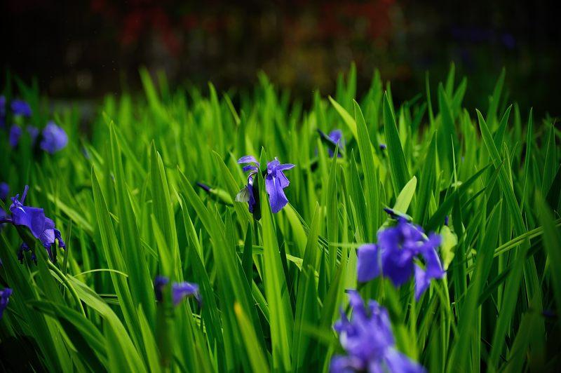 紫の花色々@梅宮大社_f0032011_1842977.jpg