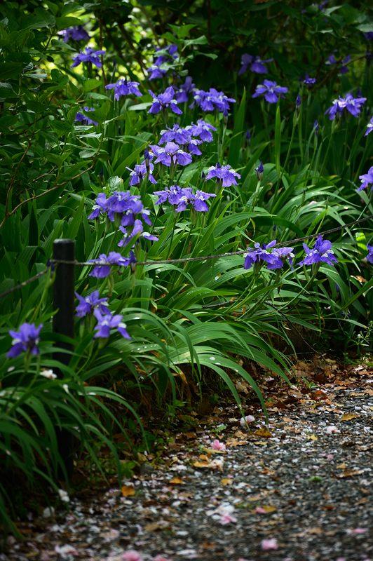 紫の花色々@梅宮大社_f0032011_1843201.jpg