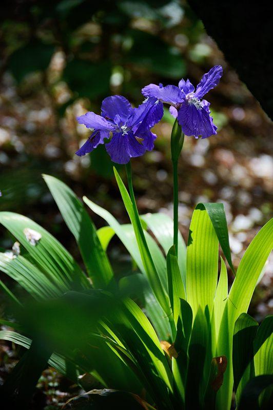 紫の花色々@梅宮大社_f0032011_18432940.jpg