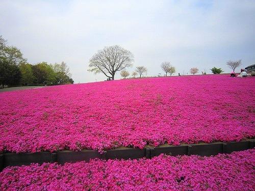 芝桜&わたらせ渓谷鉄道 @群馬_b0157216_2149533.jpg