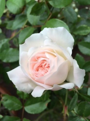 咲いてきました♪_d0085018_21585847.jpg