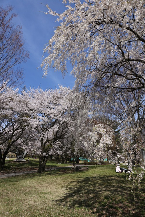 4月20日 雪窓公園の桜_d0035921_14341112.jpg