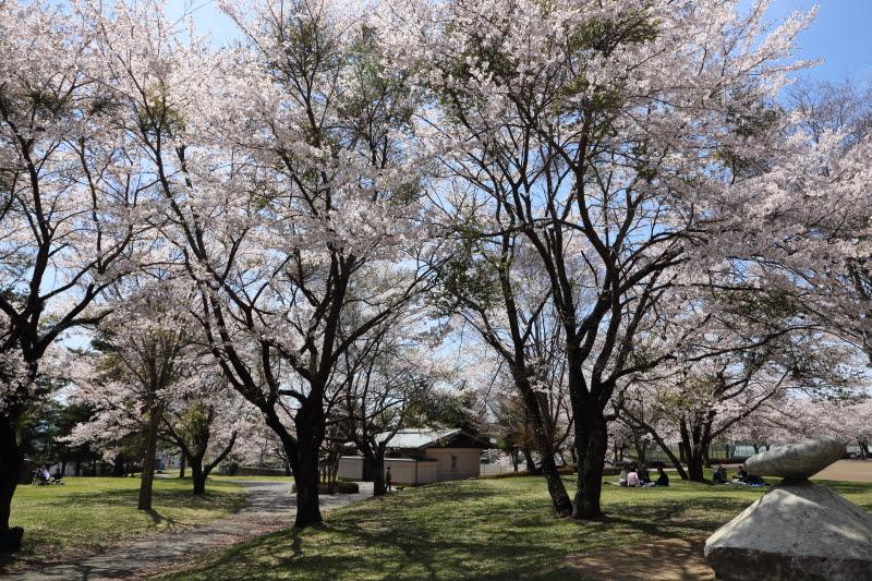 4月20日 雪窓公園の桜_d0035921_14343917.jpg