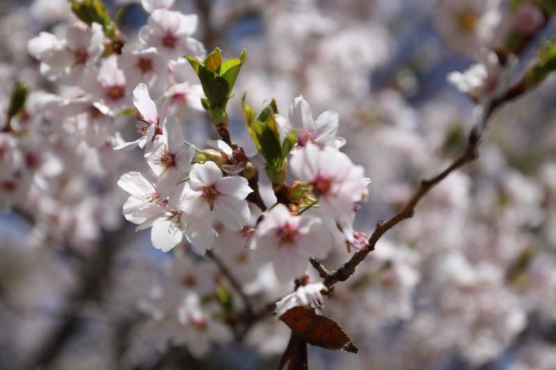 4月20日 雪窓公園の桜_d0035921_14351769.jpg