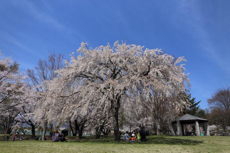4月20日 雪窓公園の桜_d0035921_144347.jpg