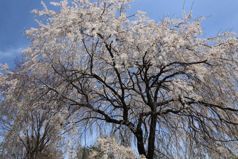 4月20日 雪窓公園の桜_d0035921_14441970.jpg