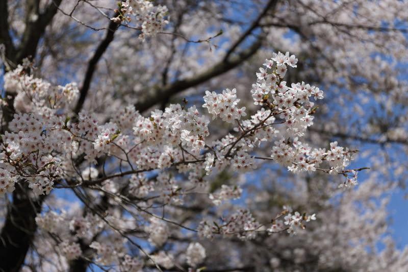 4月20日 雪窓公園の桜_d0035921_14453619.jpg