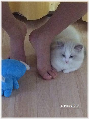 ☆ラグド-ルの仔猫・・ママの子育ても一段落。_c0080132_12175024.jpg