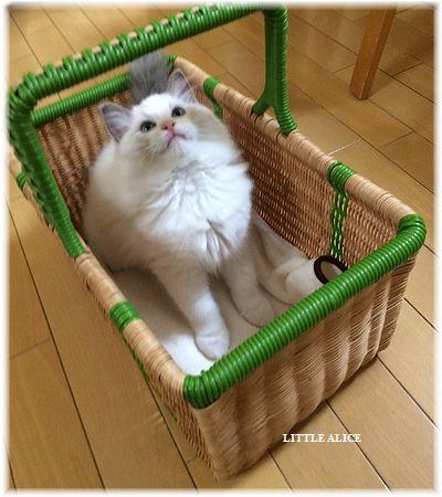 ☆ラグド-ルの仔猫・・ママの子育ても一段落。_c0080132_12183234.jpg