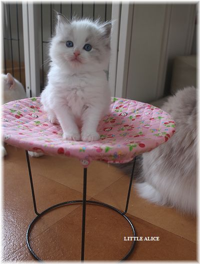 ☆ラグド-ルの仔猫・・ママの子育ても一段落。_c0080132_12231897.jpg