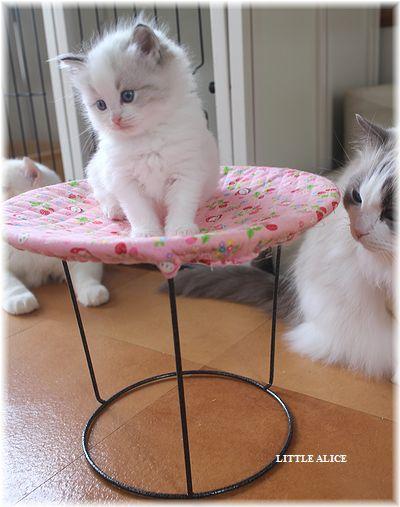 ☆ラグド-ルの仔猫・・ママの子育ても一段落。_c0080132_12254224.jpg