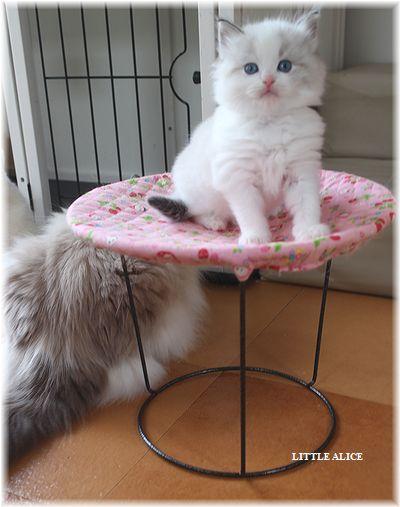 ☆ラグド-ルの仔猫・・ママの子育ても一段落。_c0080132_12262750.jpg