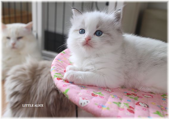 ☆ラグド-ルの仔猫・・ママの子育ても一段落。_c0080132_12275247.jpg