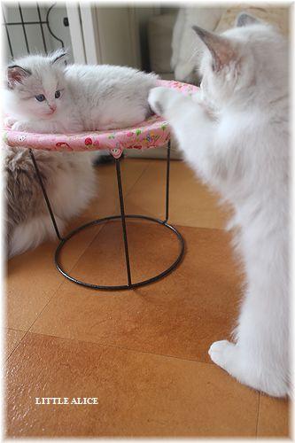 ☆ラグド-ルの仔猫・・ママの子育ても一段落。_c0080132_12304728.jpg