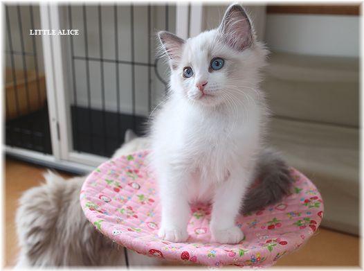 ☆ラグド-ルの仔猫・・ママの子育ても一段落。_c0080132_12322032.jpg