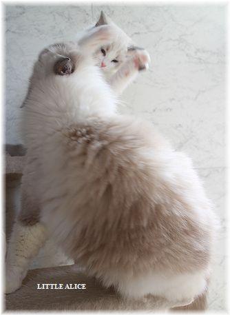 ☆ラグド-ルの仔猫・・ママの子育ても一段落。_c0080132_123312100.jpg