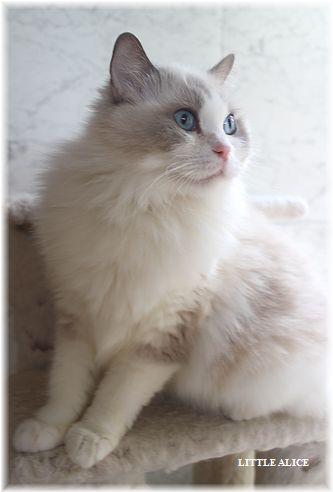 ☆ラグド-ルの仔猫・・ママの子育ても一段落。_c0080132_12352759.jpg