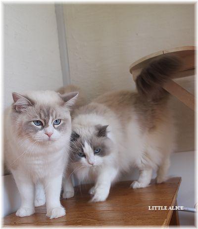 ☆ラグド-ルの仔猫・・ママの子育ても一段落。_c0080132_1240345.jpg