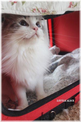 ☆ラグド-ルの仔猫・・ママの子育ても一段落。_c0080132_12413831.jpg