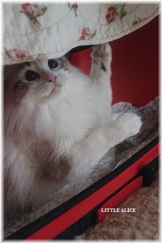 ☆ラグド-ルの仔猫・・ママの子育ても一段落。_c0080132_1241935.jpg