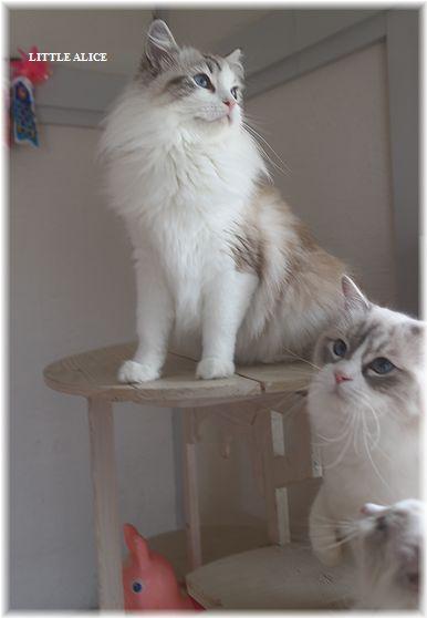 ☆ラグド-ルの仔猫・・ママの子育ても一段落。_c0080132_12423556.jpg