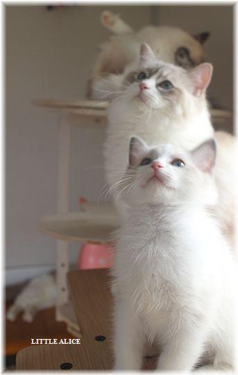 ☆ラグド-ルの仔猫・・ママの子育ても一段落。_c0080132_12433635.jpg