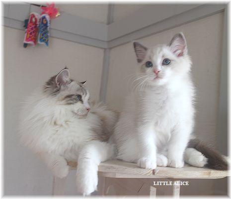 ☆ラグド-ルの仔猫・・ママの子育ても一段落。_c0080132_12491163.jpg