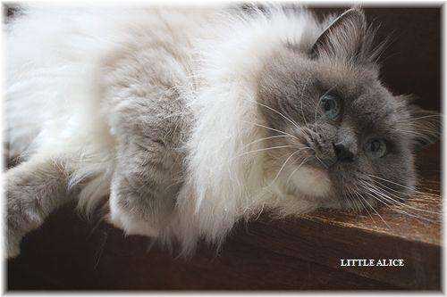 ☆ラグド-ルの仔猫・・ママの子育ても一段落。_c0080132_12555525.jpg