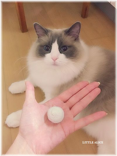 ☆ラグド-ルの仔猫・・ママの子育ても一段落。_c0080132_1292068.jpg